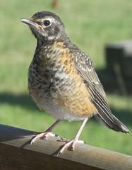 animal, perching bird, wing, fauna, beak, bird, lark,
