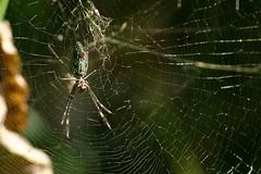 argiope(0.0), yellow garden spider(0.0), araneus(0.0), european garden spider(0.0), arthropod(1.0), animal(1.0), spider(1.0), nature(1.0), invertebrate(1.0), macro photography(1.0), fauna(1.0), close-up(1.0), orb weaver spider(1.0), spider web(1.0),