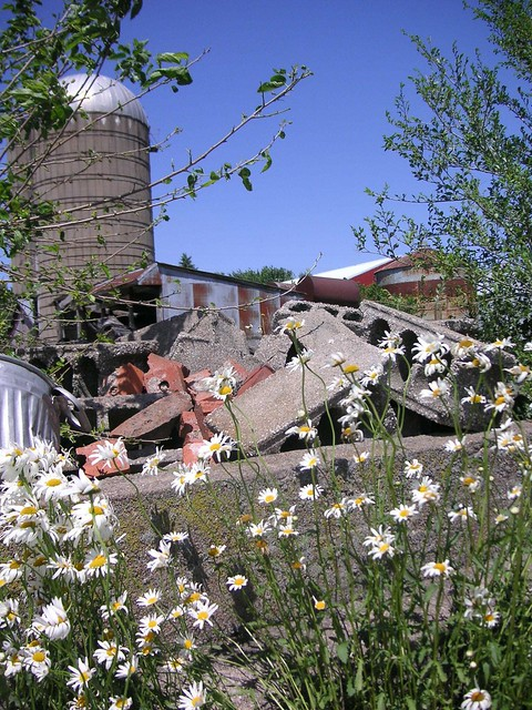 Daisy destruction flickr photo sharing click for details daisys