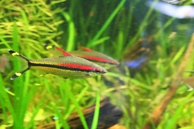 Red Line Torpedo Barb Flickr - Photo Sharing!