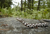 "<a href=""http://www.flickr.com/photos/usonian/164177435/"">Photo of Lampropeltis triangulum by Andy Chase</a>"