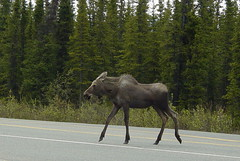 deer(0.0), moose(1.0), fauna(1.0),