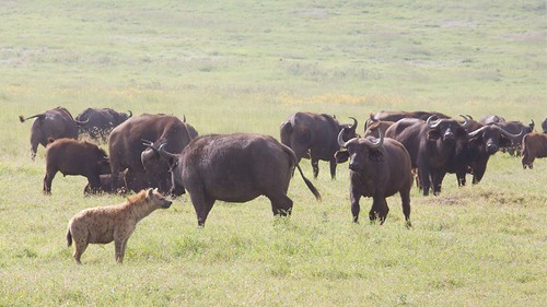 Buffalos and Hyena