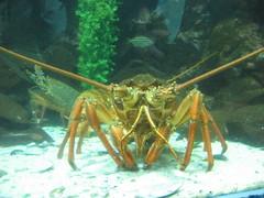 spiny lobster, animal, crustacean, seafood, marine biology, invertebrate, fauna,