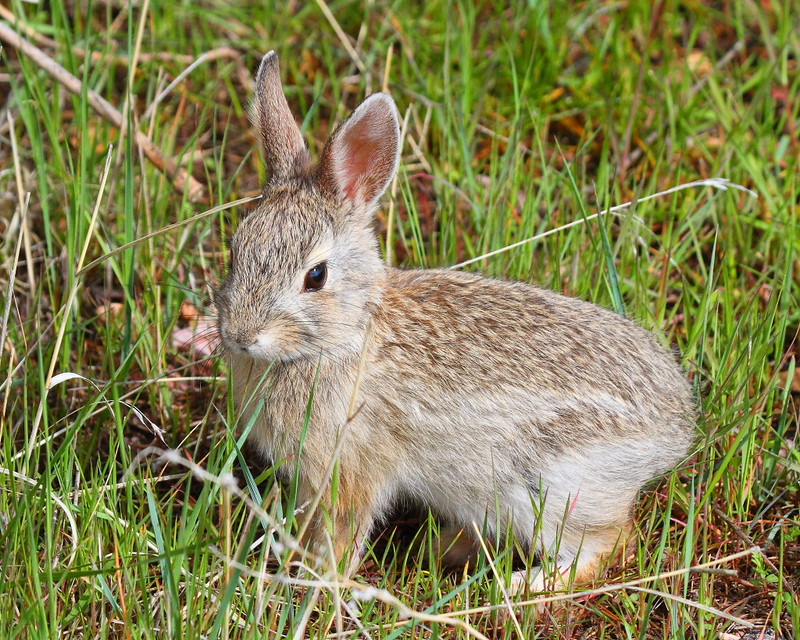 IMG_9774 Cottontail Rabbit