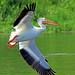 Prosser Pelican by littlebiddle