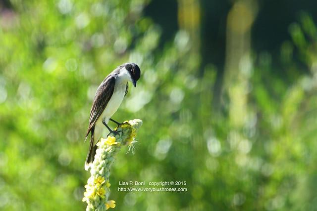 2015.07.15EasternKingbirdLPBoni