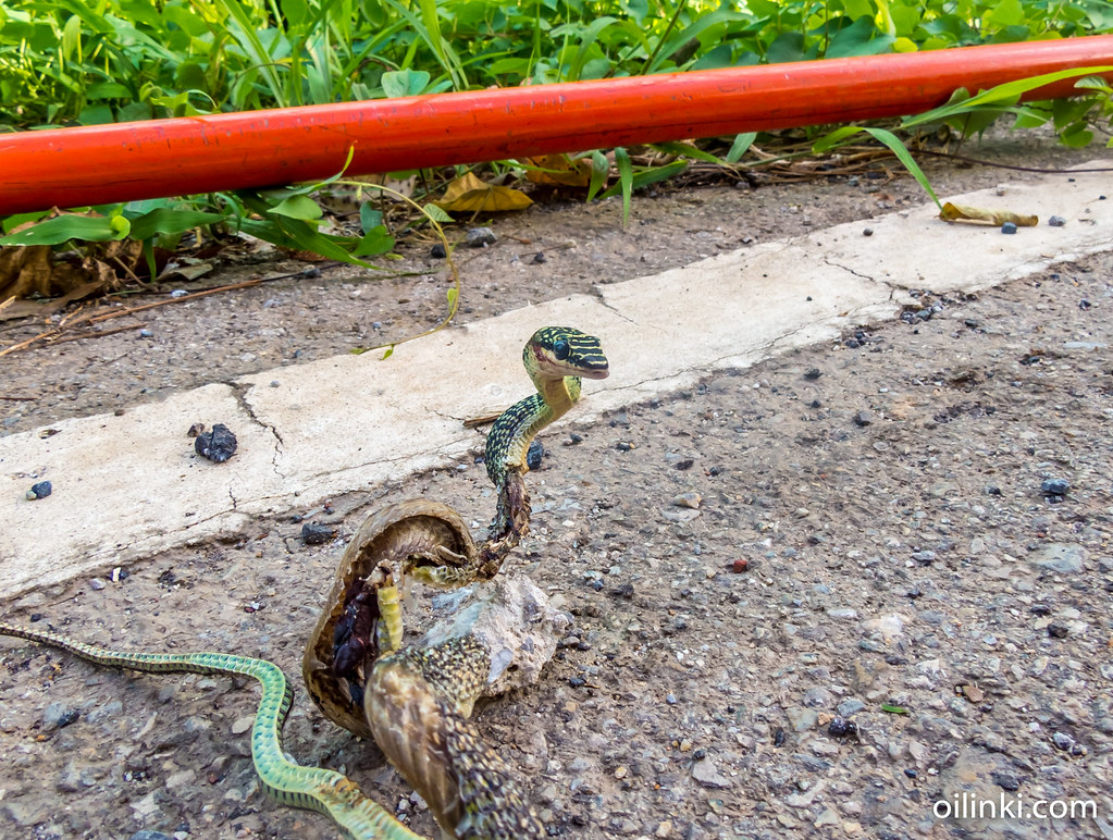Golden tree snake causes power outtages in Phuket, Thailand