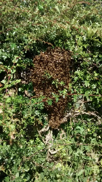 bee swarm July 15 4