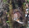 Cloud Forest Pygmy Owl by George Cruz // www.sanjorgeecolodges.com