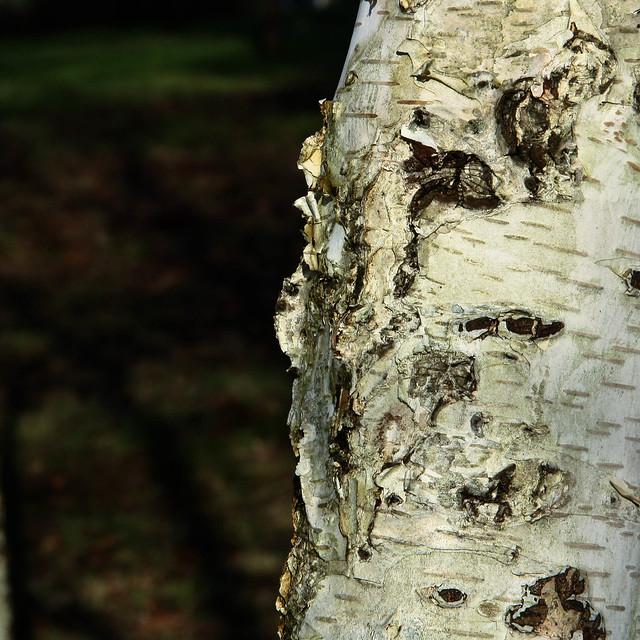 bouleau/birch