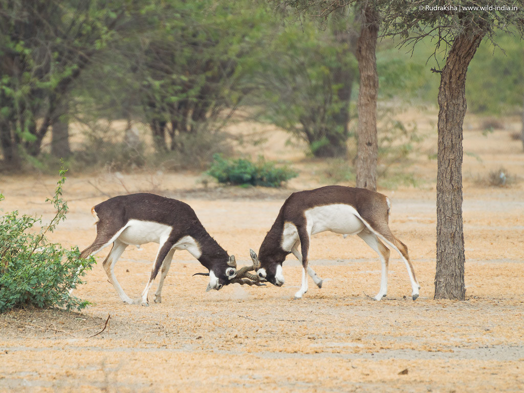 Blackbucks battle - 4