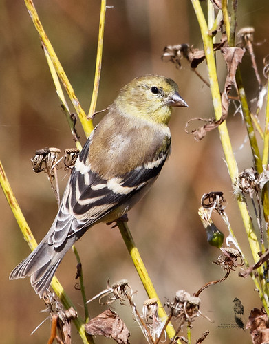 avian wetlands american goldfinch flora pennsylvania fall plumage fauna immature finch field