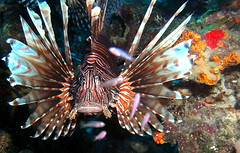 Cur 2012 - Lion Fish Close Up