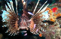 Cur 2012 - Lion Fish Close Up