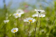 flower, yellow, sunlight, nature, chamaemelum nobile, daisy, macro photography, wildflower, flora, green, oxeye daisy, natural environment, close-up, meadow, plant stem, daisy, grassland, petal,