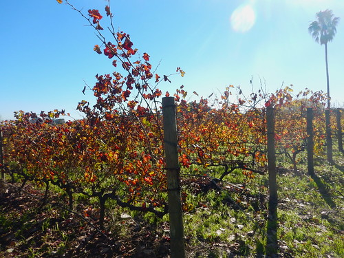 Fall colors at Villiera Wines