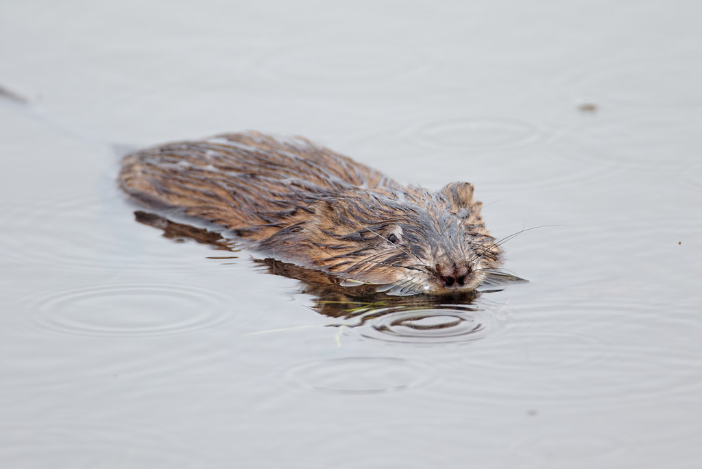 Rain ripples the water as a common muskrat feeds in Rest Lake