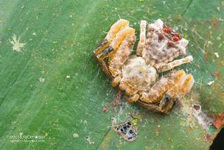 Bird dung crab spider (Phrynarachne sp.) - DSC_4263
