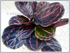 Our recently purchased Calathea roseopicta 'Dottie' (Calathea Dottie, Rose-painted Calathea Dottie, Rose-painted Prayer Plant Dottie), July 6 2015