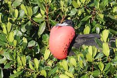 Male Magnificent Frigatebird