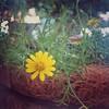 Happy little daisy :blossom:  #snapseed #stackablesapp #instagramaz #daisy