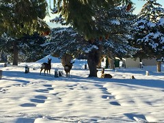 The cold brings the deer to the city.