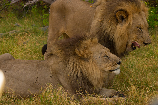 Grooming lions