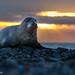 De grijze zeehond of kegelrob (Halichoerus grypus) by Lambert Reinds