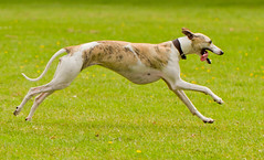 hound(0.0), harrier(0.0), silken windhound(0.0), greyhound racing(0.0), saluki(0.0), english foxhound(0.0), american foxhound(0.0), sports(0.0), hare coursing(0.0), longhaired whippet(0.0), lurcher(0.0), ibizan hound(0.0), dog sports(1.0), animal sports(1.0), dog breed(1.0), animal(1.0), magyar agã¡r(1.0), dog(1.0), polish greyhound(1.0), whippet(1.0), galgo espaã±ol(1.0), sloughi(1.0), pet(1.0), italian greyhound(1.0), greyhound(1.0), carnivoran(1.0), azawakh(1.0),