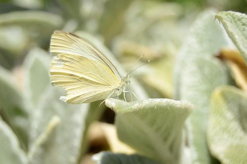 Kleiner Kohlweißling - Small White - Pieris rapae