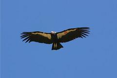 animal, bird of prey, eagle, wing, vulture, fauna, buzzard, accipitriformes, kite, beak, bird, flight, condor,