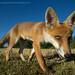 Foxy closeup by Greg Morgan wildlife