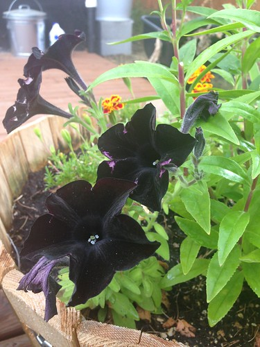 Black Magic petunias