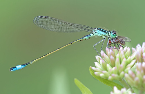 A damselfly catching a fly