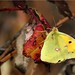 Butterfly of November by lucile54