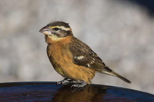 bhgr birds blackheadedgrosbeak cardinalsgrosbeaks maryland patroseshouse places stmarys taxonomy callaway unitedstates us
