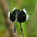 Neurothemis tullia - male by LPJC