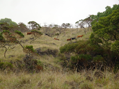 Grazing wild cattle in Nakula Natural Area Reserve before it was fenced.
