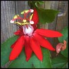 My crimson Passion flower bloomed for the 2nd time today. #passionflower #passiflora #ighou #ighouston #igtexas #igtx