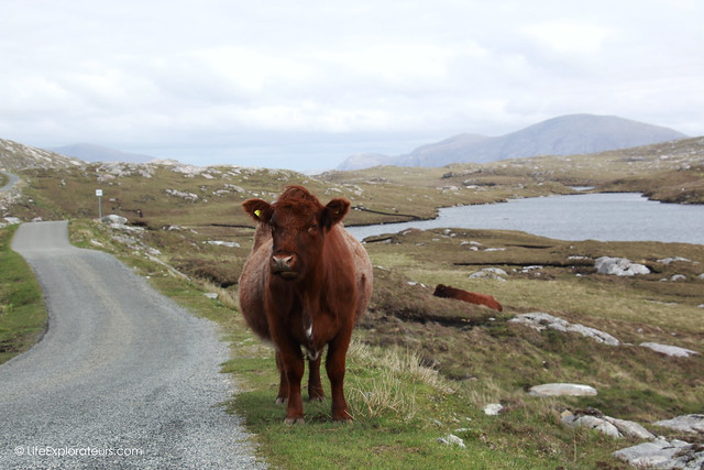 Cow on the road to Hushinish beach