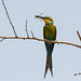 Swallow-tailed Bee-eater (Dave Montrevil)