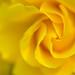 Rose/玫瑰/バラ by manposanpo