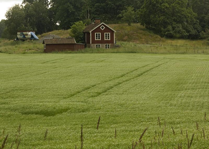 Malva field