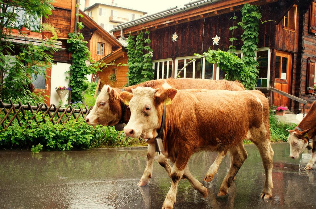 Cows in Murren, Switzerland