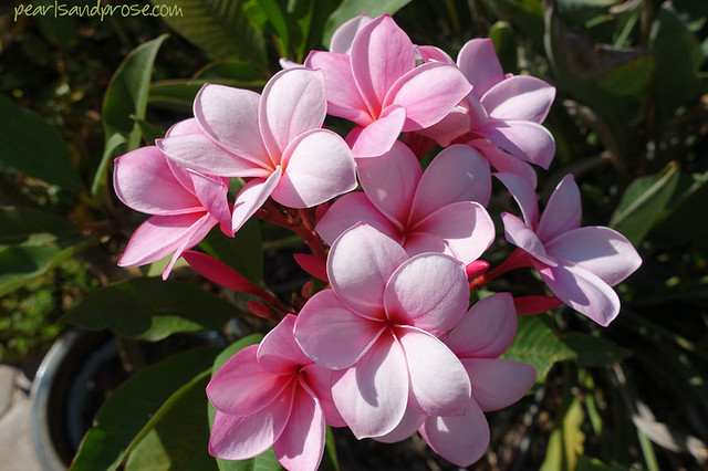 pink_plumeria_planter_web