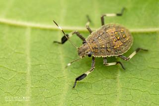 Stink bug (Pentatomidae) - DSC_0557