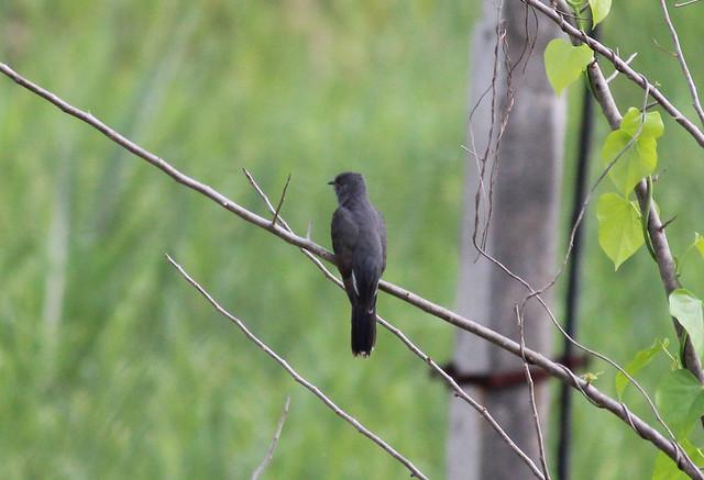 Indian Plaintive Cuckoo Male