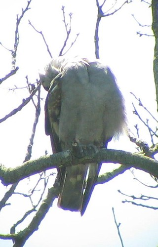 Yearling Mississippi Kite Preening showing long wing tips, still barred  tail and underwing though body mostly grey_VA Beach
