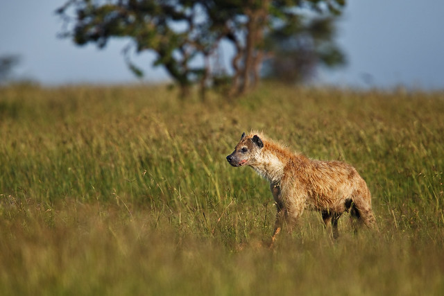 Hyena on the Lookout